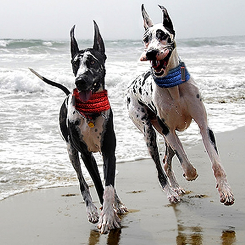 Cooling Collars for Great Danes